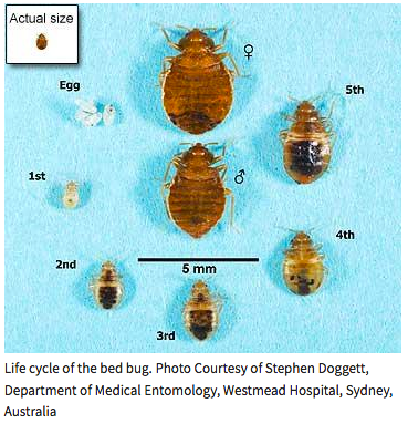How Do You Get Rid Of Bed Bugs Permanently