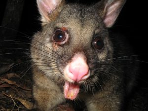 Got Bed Bugs… Just Keep A Possum Around, Seriously!